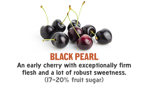 Black Pearl - An early cherry with exceptionally firm flesh and a lot of robust sweetness. (17-20% fruit sugar)